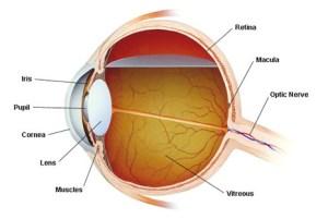 eyeball parts
